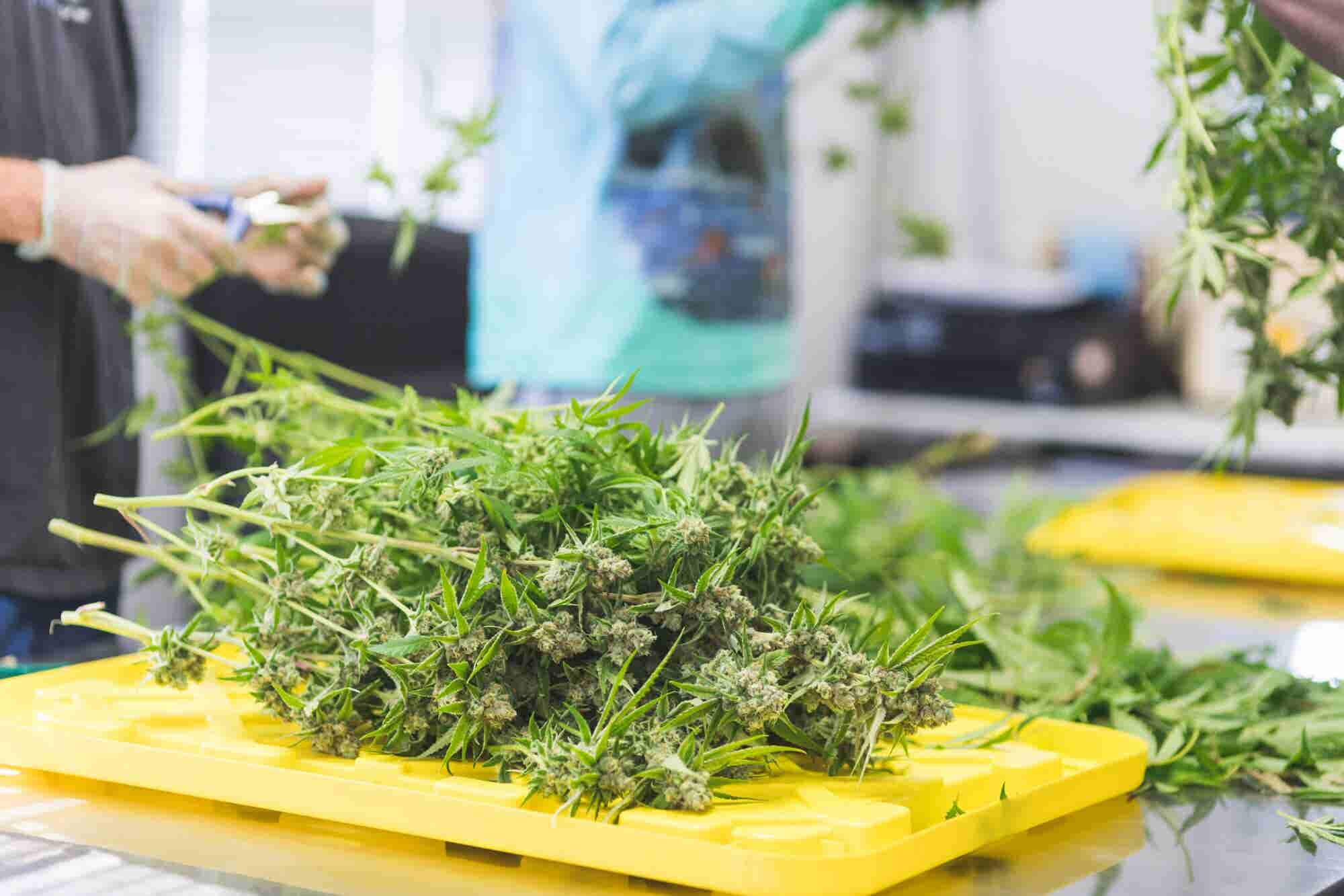 Solving Oregon's Weed Glut Could Solve the Industry's National Supply...