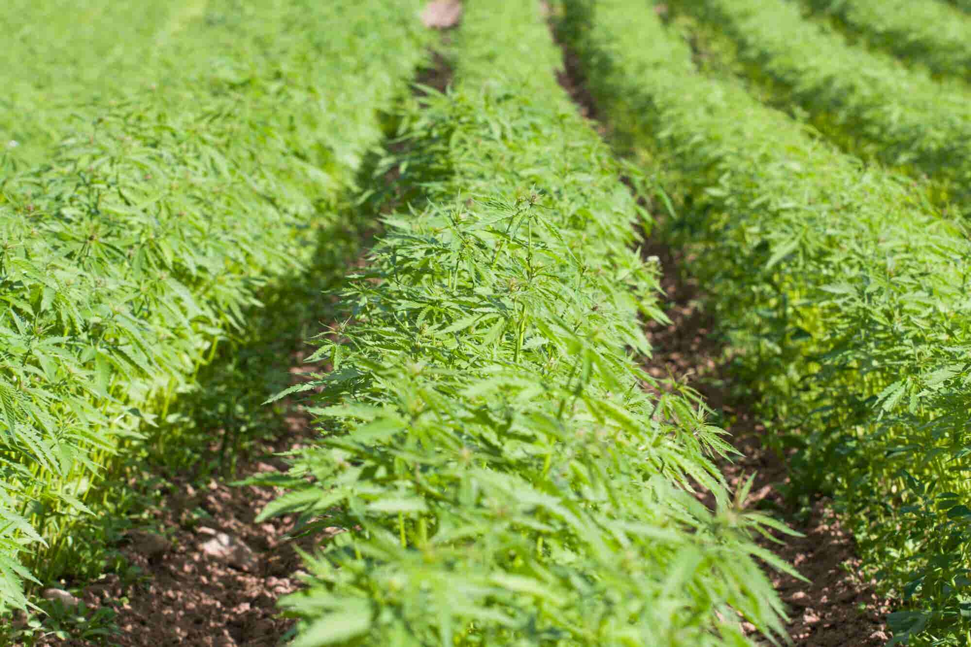 An Argument for Farming Hemp