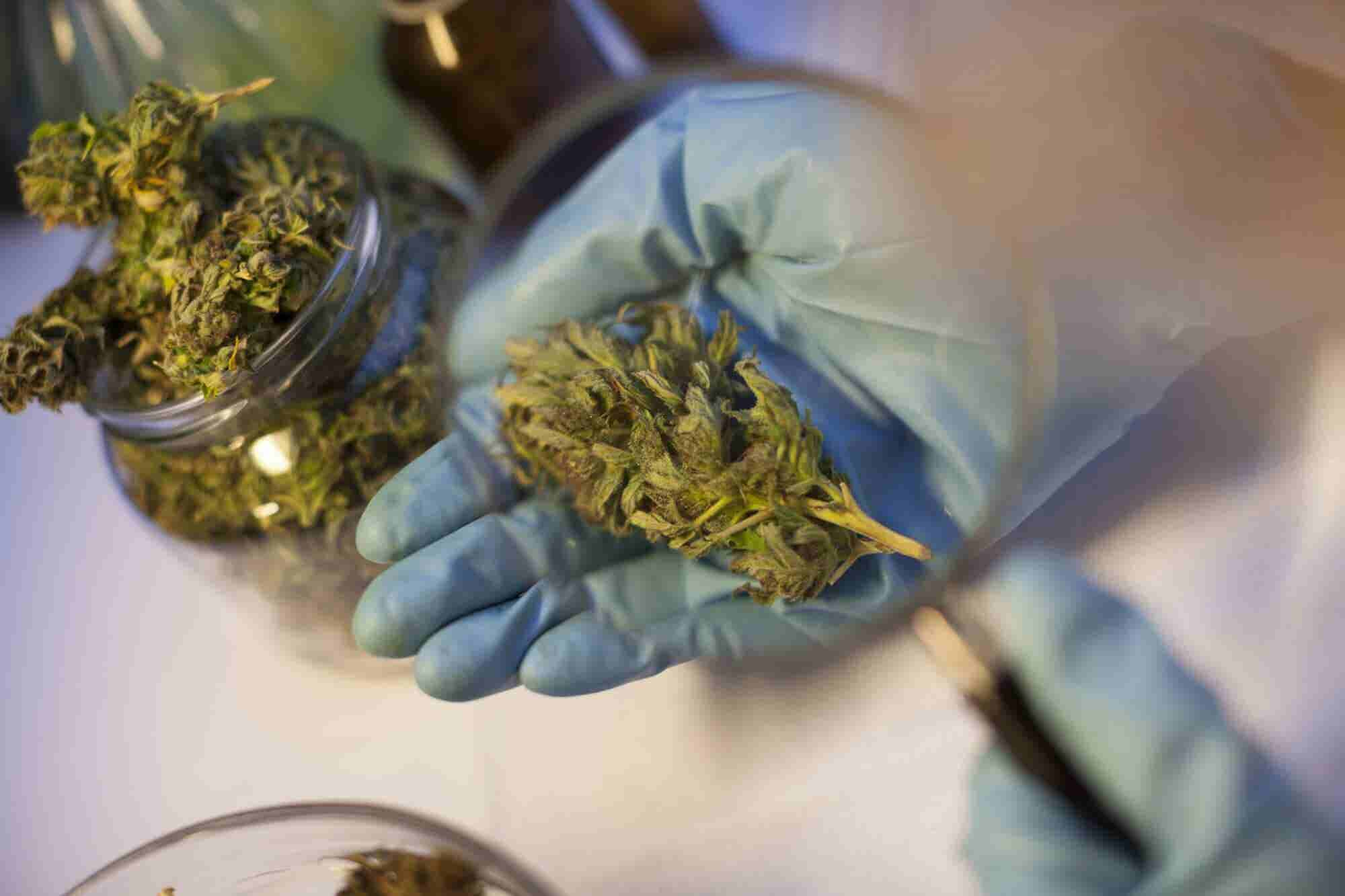 Marijuana the Feds Allow for Research Is More Like Hemp Than Real-Life Pot