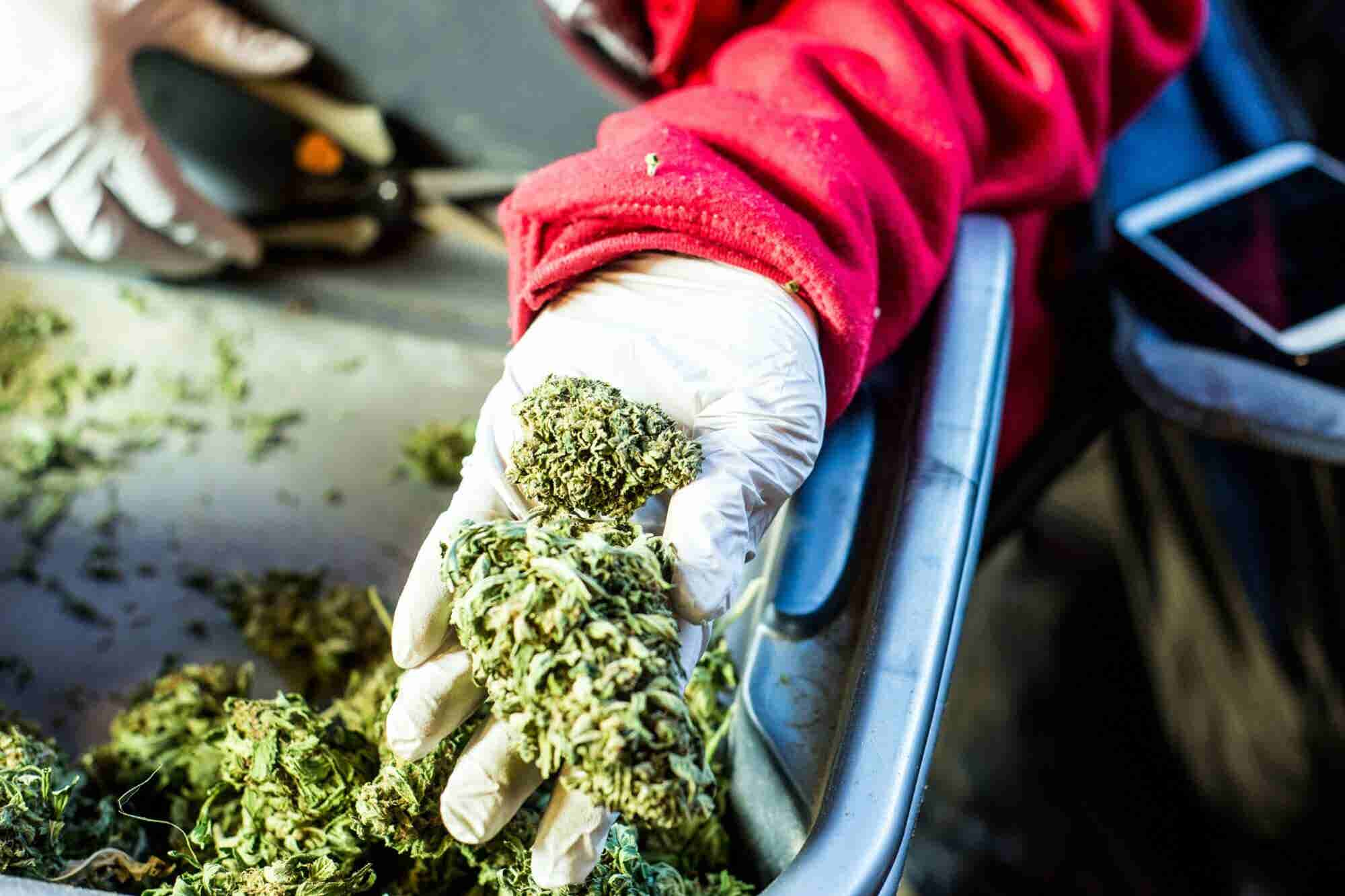 Licensing Snafu Could Cost California Cannabis Growers Thousands in Lo...