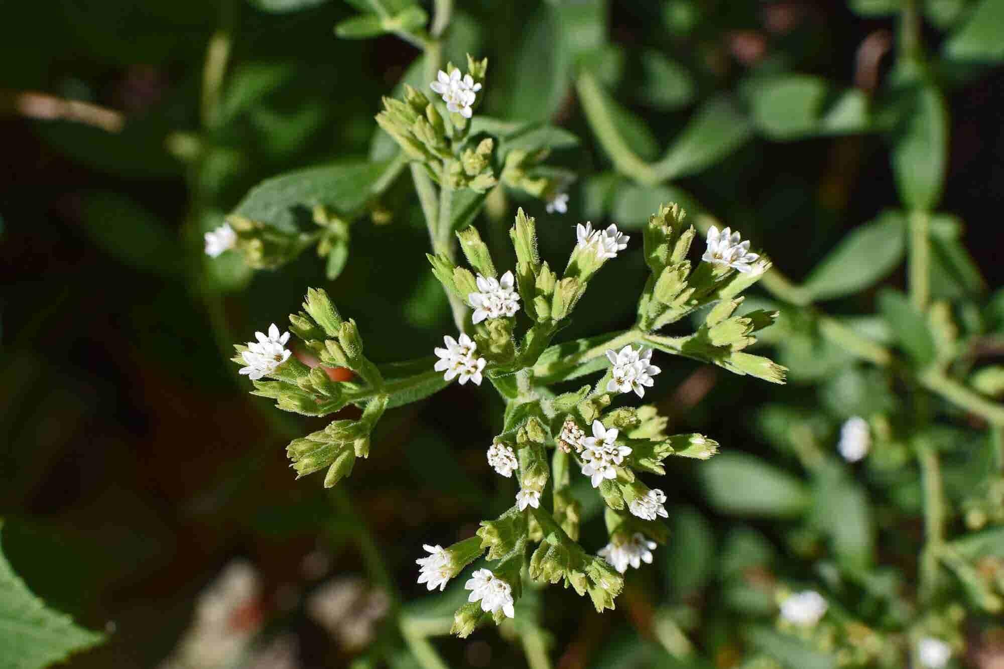 Peeking Into the Growth-bound Stevia Market