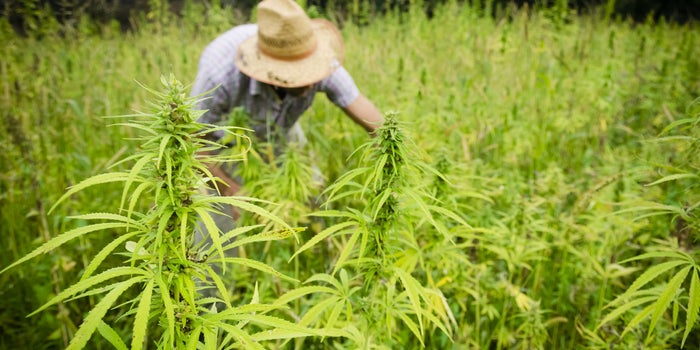 How a Quality Hemp Company Grows Hemp