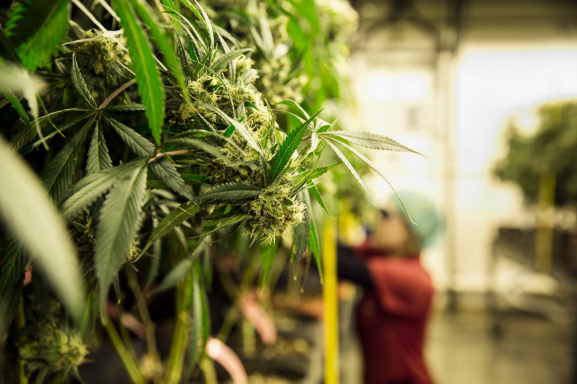 The One Job Every Cannabis Company Needs