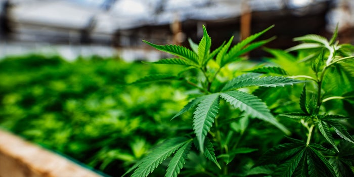Should You Grow Cannabis Indoors or Outdoors?
