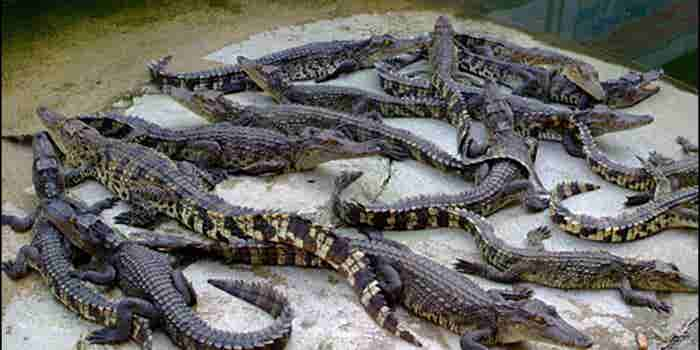 Criadero de cocodrilos