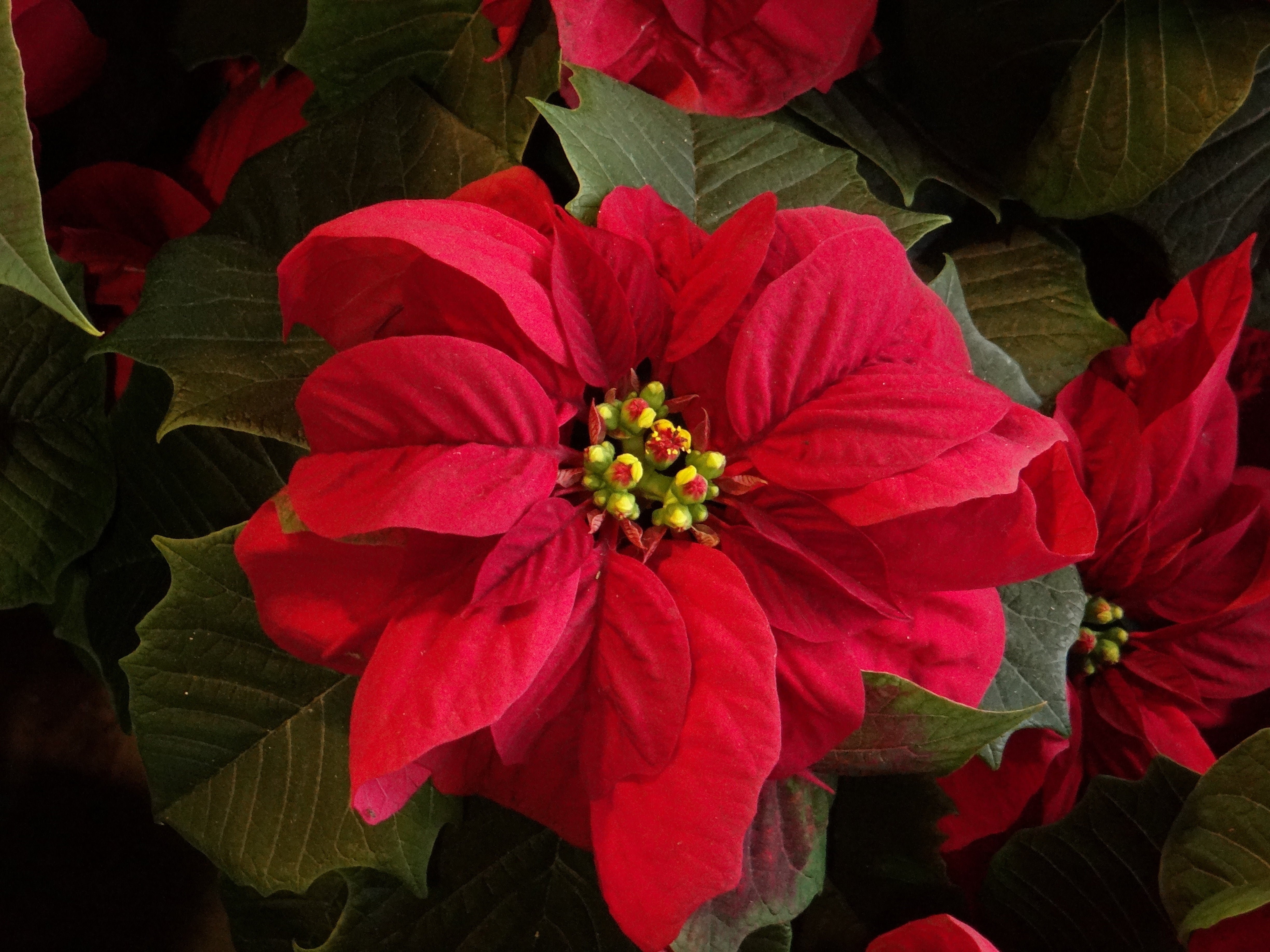 Christmas Eve The Flower Of The Aztec Warriors That Mexico Gave To The World