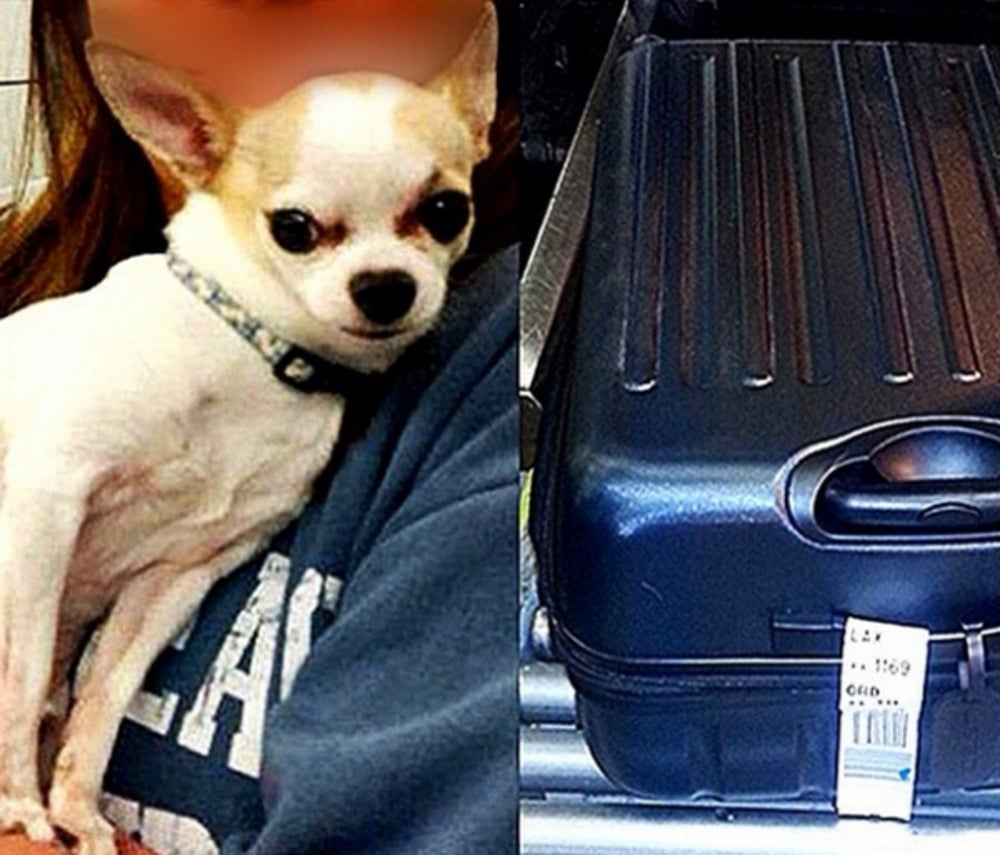 1. Chihuahua