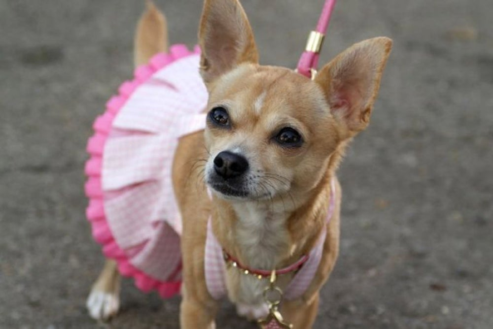The Taco Bell Chihuahua Gidget also starred in the movie 'Legally Blonde 2.'