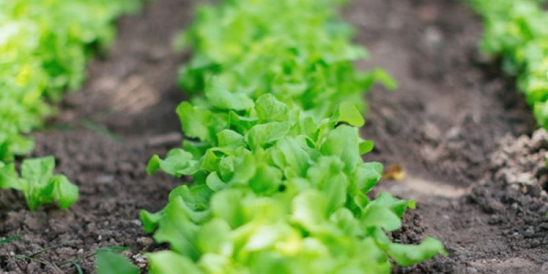 Subway uses 16 acres of lettuce every day.