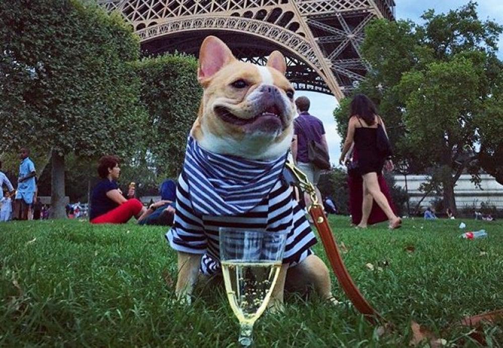 Chloe the Mini Frenchie