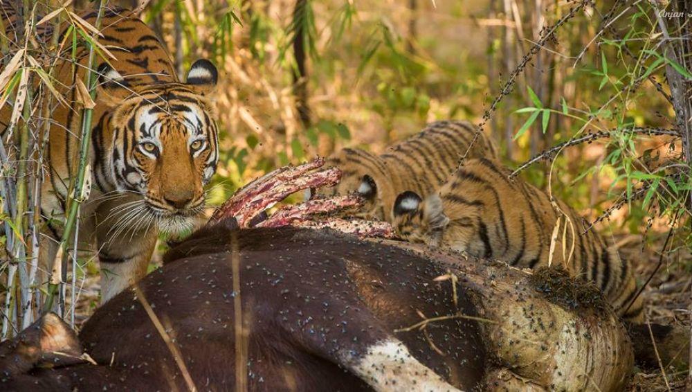Chennai & Bengaluru to The Tiger Reserve In Similipal, Odisha