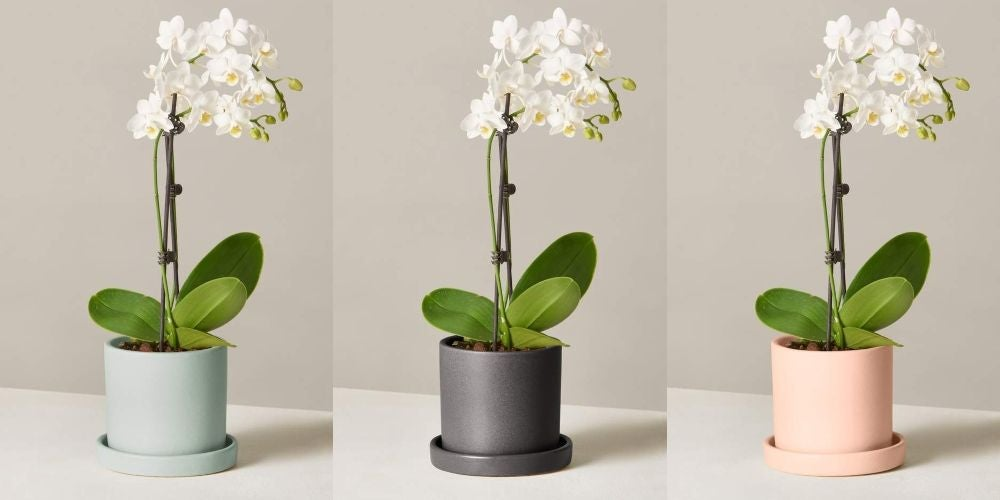 Petite White Orchid - $75